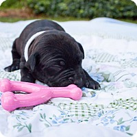 Pit Bull Terrier Mix Puppy for adoption in Rochester, New York - Pearl