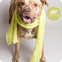 Terrier (Unknown Type, Medium) Mix Dog for adoption in Wyandotte, Michigan - Sky @DCAC