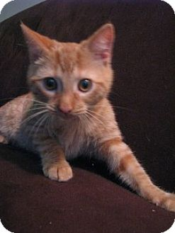 Domestic Shorthair Cat for adoption in Tallahassee, Florida - Weasley