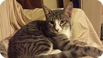 Domestic Shorthair Kitten for adoption in St Paul, Minnesota - Timmy