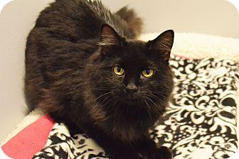 Domestic Mediumhair Cat for adoption in Lincoln, Nebraska - Denzel Washington