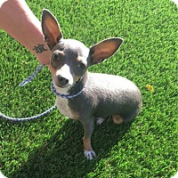 Chihuahua Dog for adoption in Temecula, California - Bella