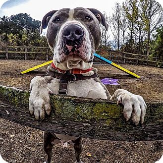 American Staffordshire Terrier/American Pit Bull Terrier Mix Dog for adoption in Los Olivos, California - Bandit