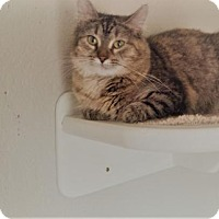Domestic Mediumhair Cat for adoption in Syracuse area, New York - Fleur Petite