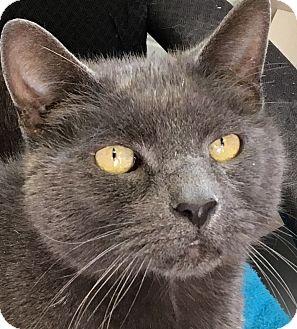 Domestic Shorthair Cat for adoption in Clayville, Rhode Island - Poseidon