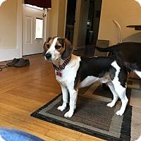 Adopt A Pet :: GUS**2ish yrs & 28 lbs!! - Mentor, OH