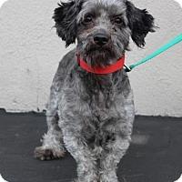 Miniature Schnauzer Mix Dog for adoption in Palo Alto, California - Jack