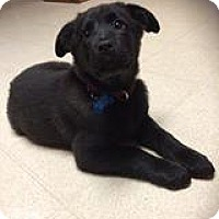 Labrador Retriever Mix Puppy for adoption in Racine, Wisconsin - Pepsi