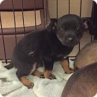 Adopt A Pet :: Paddington (Brewer) - New Braunfels, TX