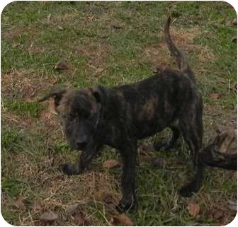 jay adopted puppy salem nh pit bull terrier