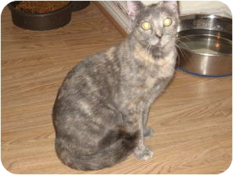 Domestic Shorthair Kitten for adoption in Huffman, Texas - Lily