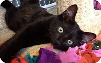 Domestic Shorthair Kitten for adoption in Escondido, California - Saphire