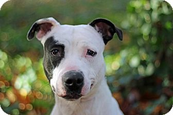 American Staffordshire Terrier Mix Dog for adoption in Port Washington, New York - Patches