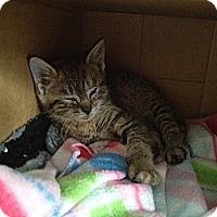 Adopt A Pet :: Viv - Island Park, NY