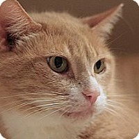 Adopt A Pet :: Caramel - Columbia, MD