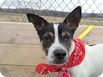 Jack Russell Terrier/Chihuahua Mix Dog for adoption in Kingsport, Tennessee - Quincy