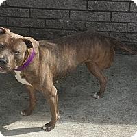 Pit Bull Terrier Mix Dog for adoption in Saint Clair Shores, Michigan - Savannah