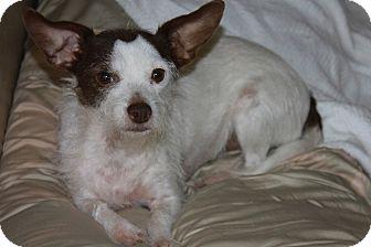 Cairn Terrier Mix Dog for adoption in Buckeye, Arizona - Roxy