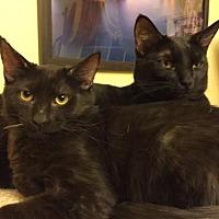 Adopt A Pet :: Shaq Attack - Glendale, AZ