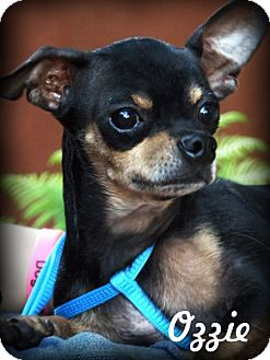 Chihuahua Mix Dog for adoption in Anaheim Hills, California - Ozzie