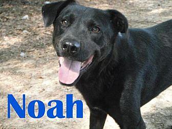 Labrador Retriever Mix Dog for adoption in Orangeburg, South Carolina - Noah