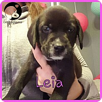 Adopt A Pet :: Leia - Pittsburgh, PA