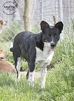 Border Collie/Terrier (Unknown Type, Medium) Mix Dog for adoption in Iola, Texas - Kylie
