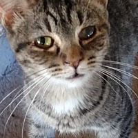 Adopt A Pet :: Meatball - Benton, PA
