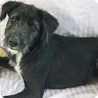 Adopt A Pet :: 'NINA' - Agoura Hills, CA