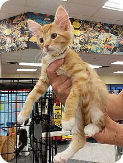 Domestic Shorthair Kitten for adoption in Monrovia, California - Sunny