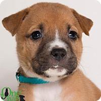 Adopt A Pet :: Shmi - Savannah, GA