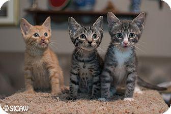 Domestic Shorthair Kitten for adoption in Staten Island, New York - Cary, Grant, Gidget