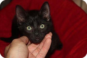 Domestic Mediumhair Cat for adoption in tampa, Florida - Graham KITTEN