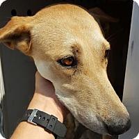 Adopt A Pet :: Baylee - Fresno CA, CA