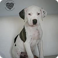 Adopt A Pet :: 6 of 11 Litter Girl - Inglewood, CA