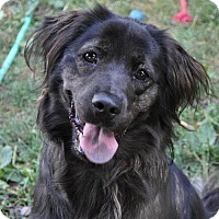 Flat-Coated Retriever/Gordon Setter Mix Dog for adoption in Fishers, Indiana - Dunkin Joe