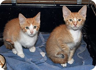Domestic Shorthair Kitten for adoption in Prospect, Connecticut - Fred, Barney - Cally's kittens