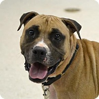 Adopt A Pet :: Dude - Austin, TX