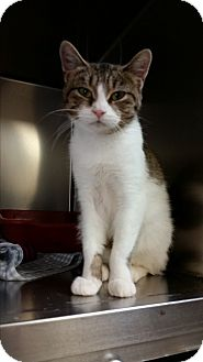 Domestic Shorthair Cat for adoption in Chippewa Falls, Wisconsin - Collett