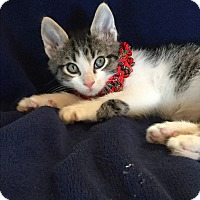 Adopt A Pet :: *Tabby bear* - Weatherford, TX