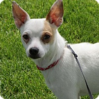 Chihuahua/Jack Russell Terrier Mix Dog for adoption in Prosser, Washington - Bullseye