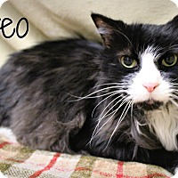 Domestic Shorthair Cat for adoption in Melbourne, Kentucky - Oreo