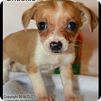 Adopt A Pet :: Snookie - Simi Valley, CA