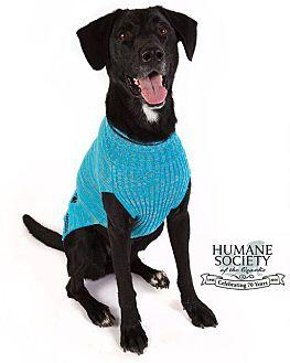 Labrador Retriever Dog for adoption in Fayetteville, Arkansas - Shadow