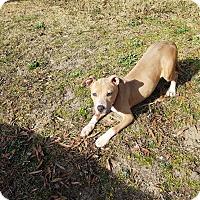 Adopt A Pet :: Hazel - Greenville, NC