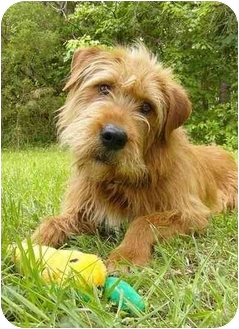 Airedale Terrier/Irish Setter Mix Dog for adoption in ...