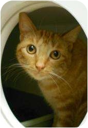 Domestic Shorthair Cat for adoption in Maywood, New Jersey - Ginger