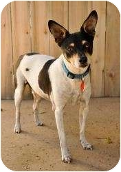 Rat Terrier Dog for adoption in Encino, California - Baxter