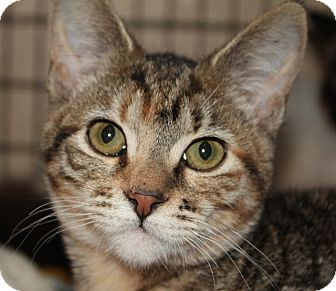 Domestic Shorthair Kitten for adoption in Grants Pass, Oregon - Maggie