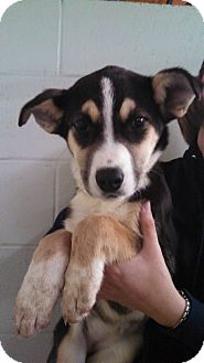 Husky/Bernese Mountain Dog Mix Puppy for adoption in Oviedo, Florida - Cari